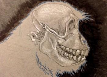 Rhesus Monkey Skull drawing